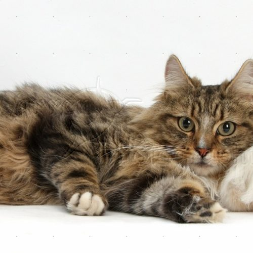 Maine Coon and Turkish Van