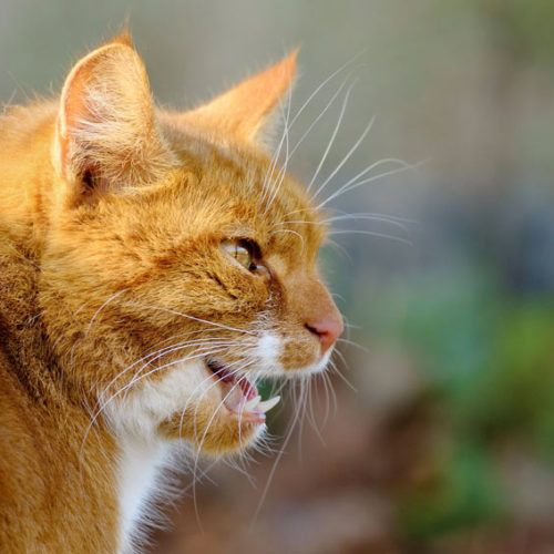 Meowing Orange Cat