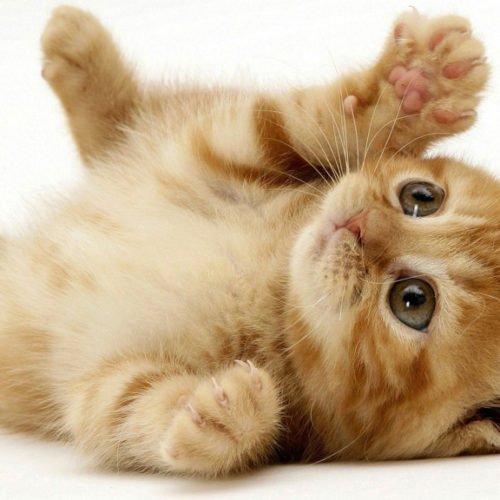 Playful Orange Kitten